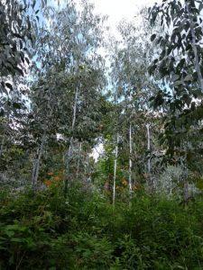 The eucalyptus plantation near the start