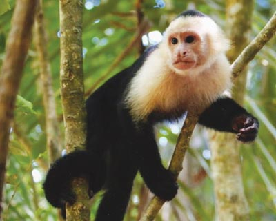 Strange facts - Capuchin monkeys