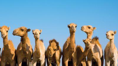 Strange Facts - Camels