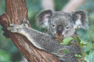 Strange Facts June 2021 - Koala Bear